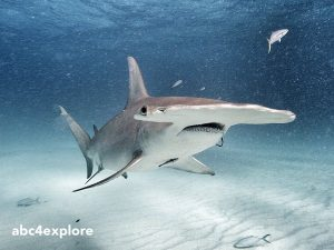 Great HammerHead Shark USE